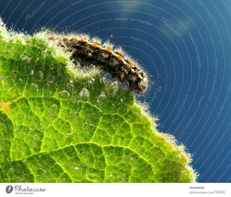 am Blattrand Am Rand Insekt Härchen Licht Sonnenaufgang Frühling Raupe aderung Wassertropfen Seil