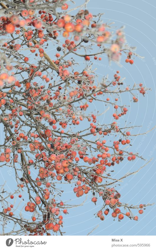 rot und blau Apfel Natur Wolkenloser Himmel Herbst Winter Schönes Wetter Eis Frost Schnee Baum Sträucher kalt Raureif Ast Zweige u. Äste Frucht gefroren