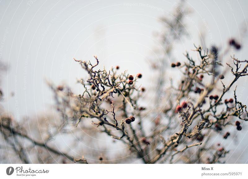 und wieder Winter Baum kalt Eis Sträucher Ast Frost gefroren Beeren Zweige u. Äste Raureif Beerensträucher