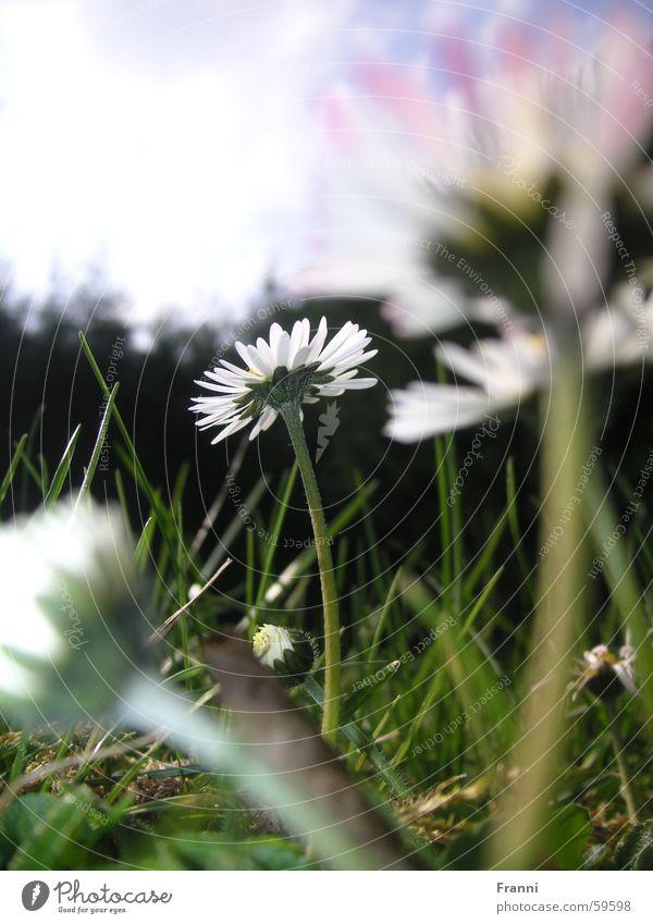 Daisy Gänseblümchen Gras Wiese Frühling Sommer mehrfarbig Blüte Blume daisy Garten
