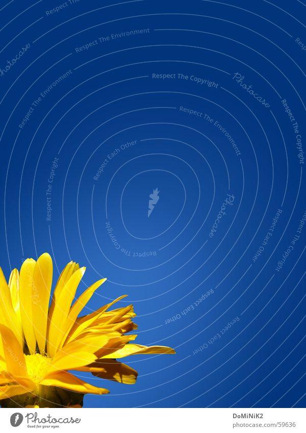 Gelb auf Blau Natur schön Blume blau Pflanze Freude gelb Blüte Frühling hell glänzend Umwelt natürlich Schönes Wetter Blauer Himmel Blütenblatt