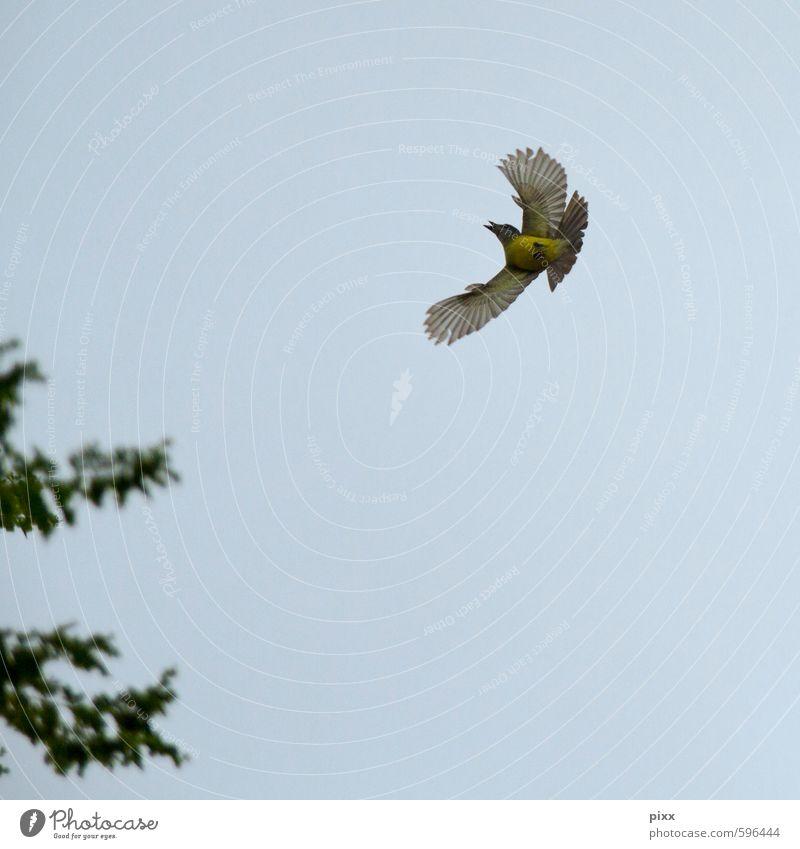 Erstes 2014   Landeanflug Himmel Natur blau grün Sommer Tier gelb klein Luft Vogel fliegen elegant Geschwindigkeit Feder Flügel Lebensfreude