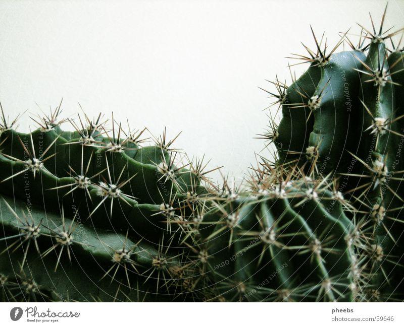 kaktus(se) grün Pflanze schwarz Wachstum Kaktus Stachel
