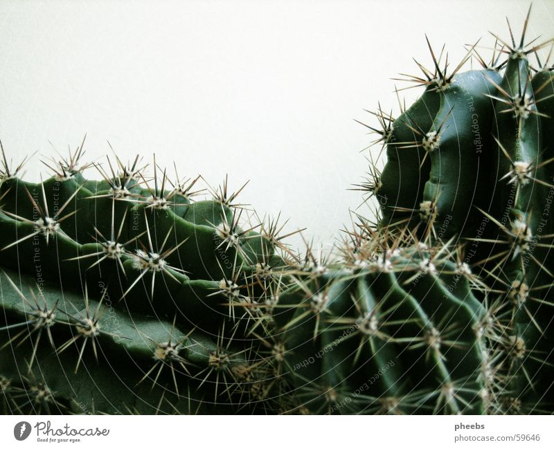 kaktus(se) Kaktus Pflanze Wachstum grün schwarz kaktusse Stachel