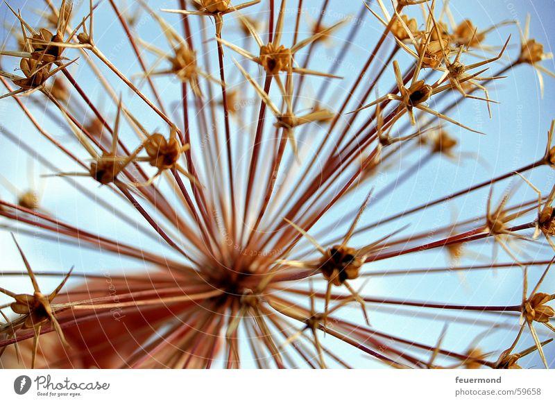 ...überwintert... Blume Pflanze Blüte trocken Samen überwintern getrocknet