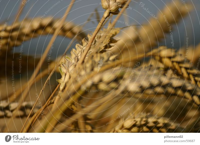 Weizen Sommer Feld Getreide Ernte Ähren