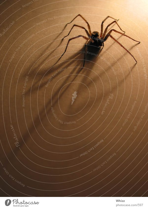 spinnchen Spinne