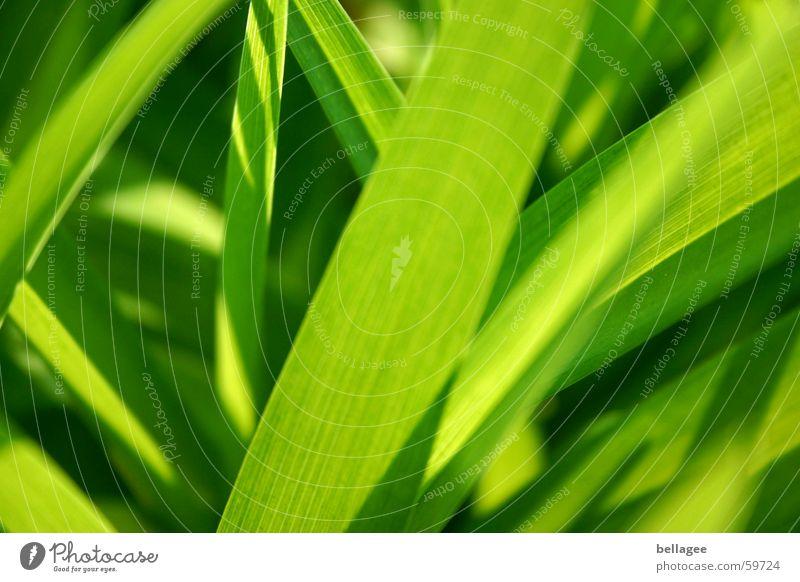 es grünt... Gras Wiese Halm Blatt Außenaufnahme Licht Sommer Frühling saftig Strukturen & Formen Lampe Rasen Lust