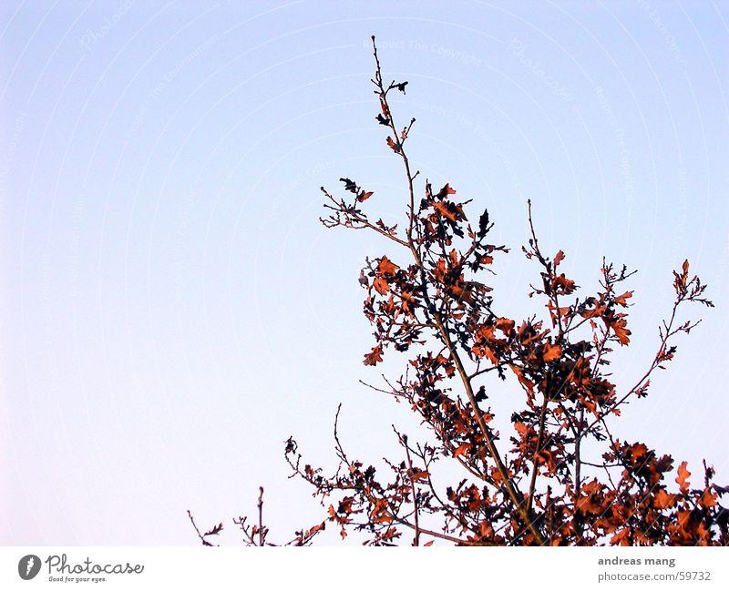 Rote Blätter Himmel blau rot Blatt Sträucher Ast Zweig verzweigt