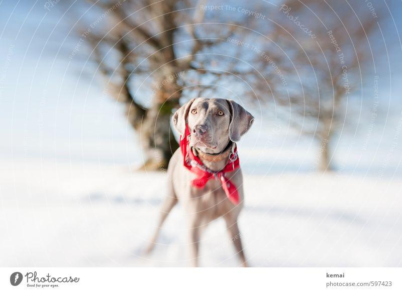 Tia Umwelt Natur Landschaft Himmel Sonne Sonnenlicht Winter Schönes Wetter Eis Frost Schnee Baum Halstuch Tier Haustier Hund Weimaraner 1 Blick stehen warten