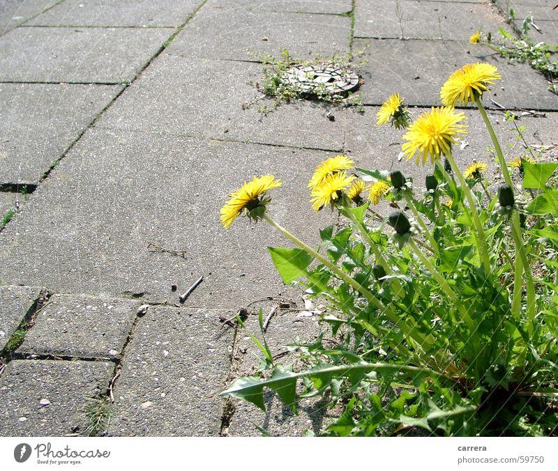 Beißt nicht... Löwenzahn Blüte Blume gelb grün grau Frühling Pflanze Asphalt Bürgersteig schön Blühend Straßenbelag Wiese Schönes Wetter Freude Stein flower