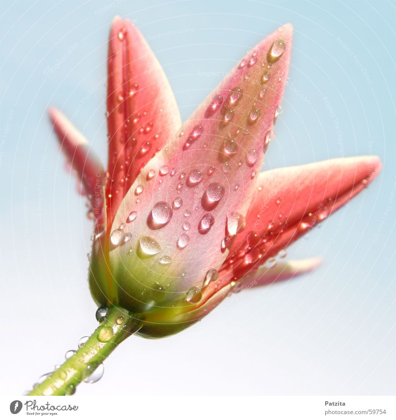 Tulpe im Regen Blume Pflanze Wassertropfen Sommer Frühling rosa grün rot nass Tau Himmel blau