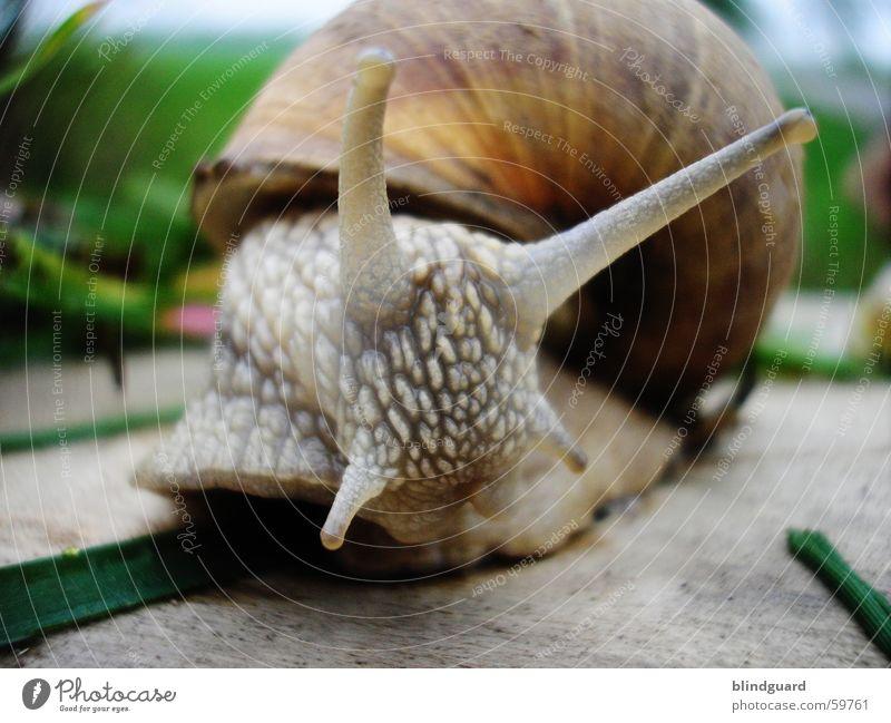 Wer bist du denn? Natur grün Auge Garten grau Gras Bewegung braun Schnecke krabbeln Fühler langsam Schleim Weinbergschnecken anbiedern