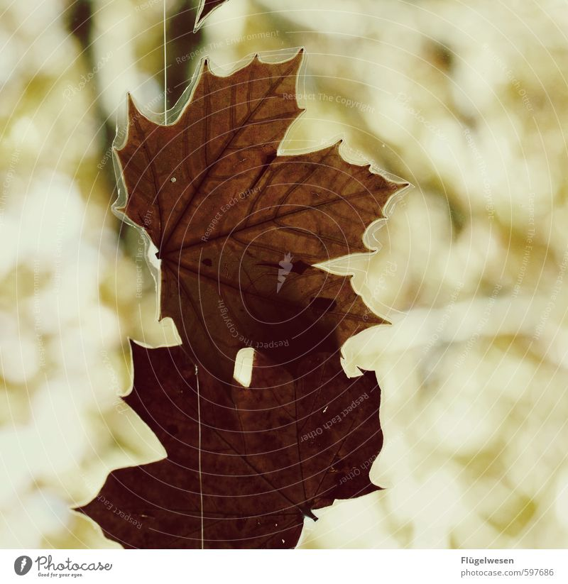 Den Herbst konservieren Umwelt Natur Landschaft Pflanze Tier Urelemente Klima Blatt Grünpflanze hängen Müdigkeit herbstlich Herbstlaub Herbstfärbung