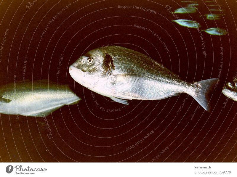 Schwarzes Wasser Aquarium Fisch