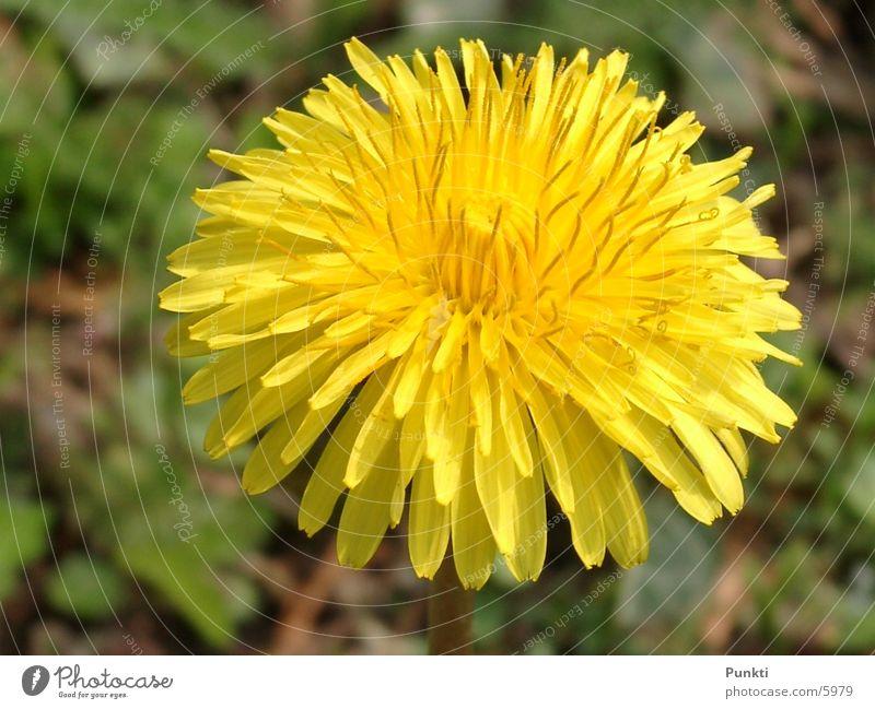 Löwenzahn Natur Blume Pflanze