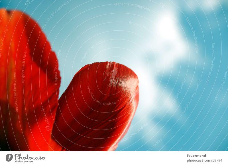rote Frühlingsgefühle Sonne Blume Pflanze rot Blüte Frühling Tulpe erstaunt Blütenblatt