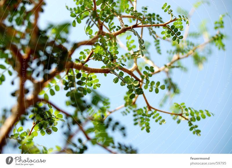 In den Himmel wachsen Baum Pflanze Blatt grün Baumstamm Ast Zweig sapling twig branch blue