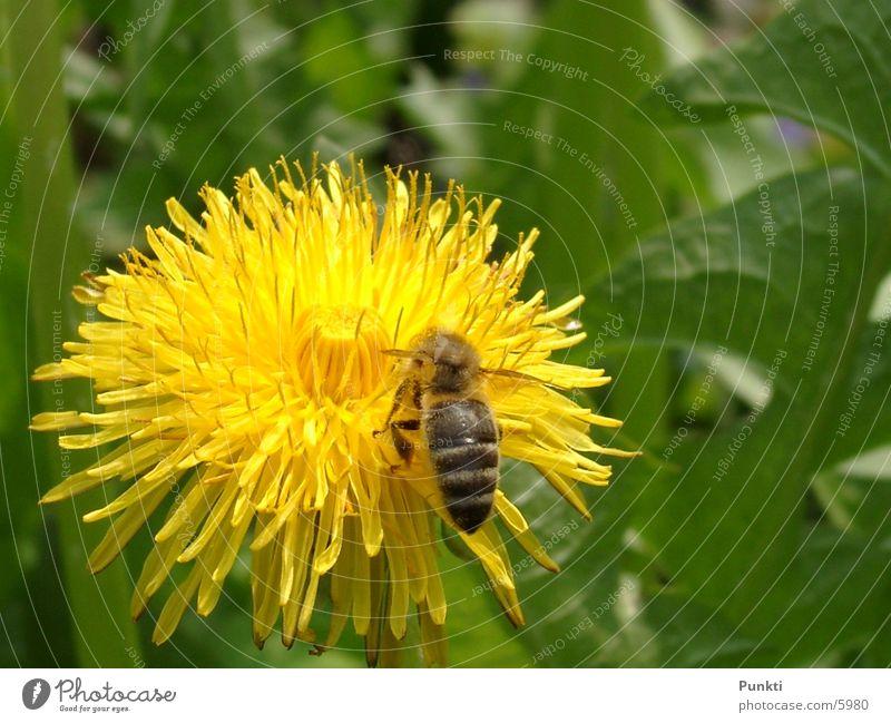 Bieneaufblume Natur Blume Pflanze Tier Biene