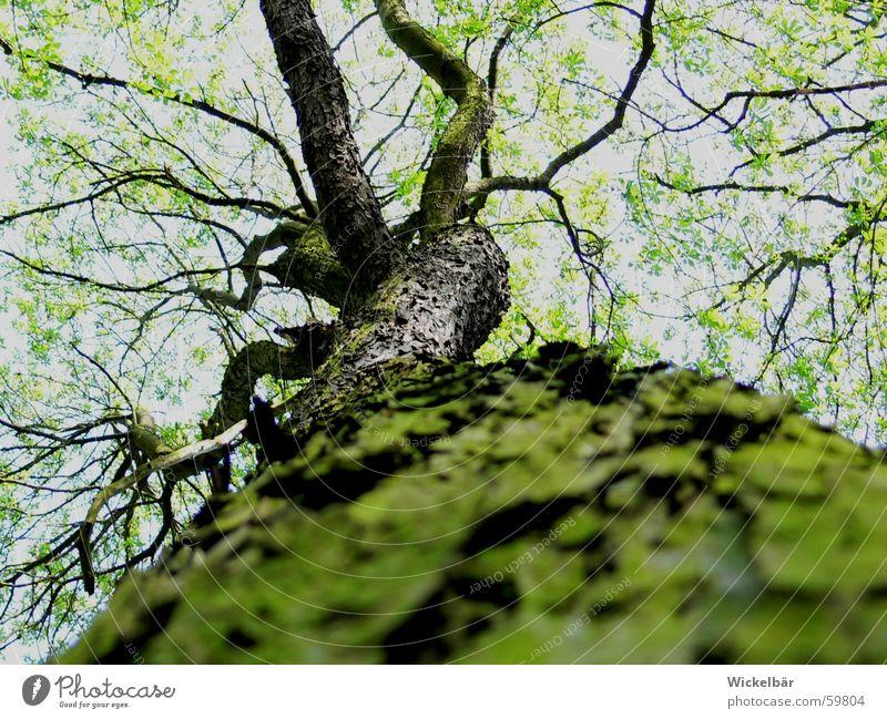 Käferperspektive Baum Frühling Wald Baumrinde Baumstamm hoch Himmel Zweig Ast