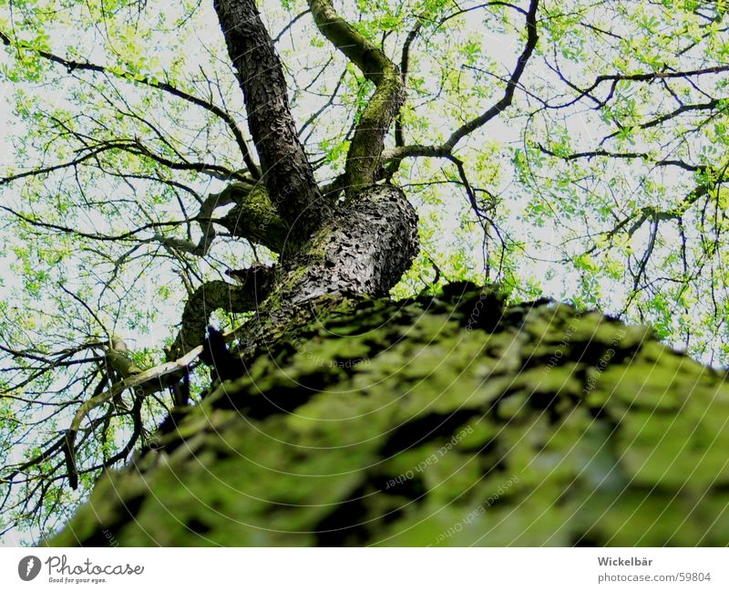 Käferperspektive Himmel Baum Wald Frühling hoch Ast Baumstamm Zweig Baumrinde