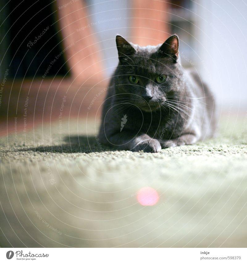 laserpointer Katze Tier Spielen liegen Freizeit & Hobby Häusliches Leben beobachten Neugier Gelassenheit Tiergesicht Wachsamkeit Haustier Wohnzimmer Hauskatze