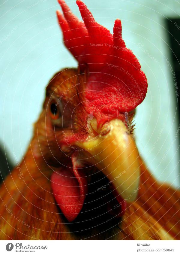 My chicken friend 2 rot Auge Vogel Haushuhn
