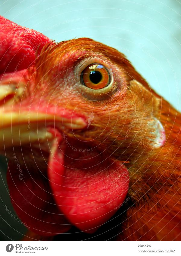 My chicken friend 3 Haushuhn rot Vogel Auge red bird eye