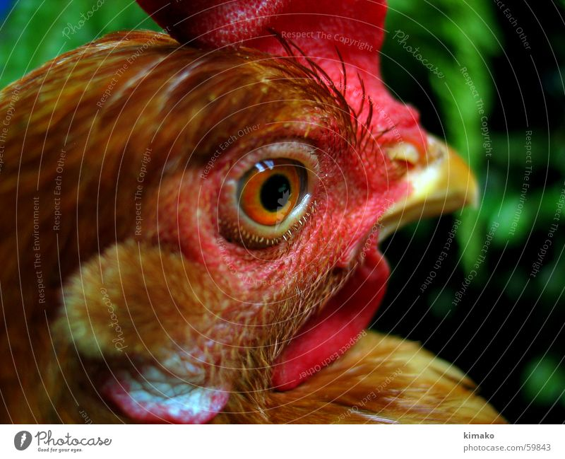 My chicken friend 4 rot Auge Kopf Vogel Haushuhn Mexiko
