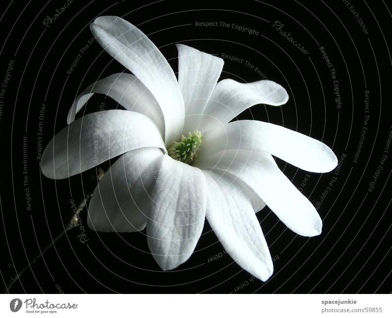 Sternmagnolie (2) weiß grün schwarz Blüte Frühling Stempel Blütenblatt Magnoliengewächse Stern-Magnolie