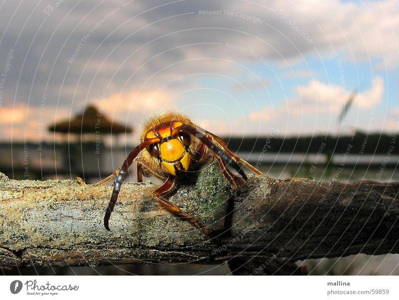 Was haben wir da! Wespen Biene Sommer Insekt Makroaufnahme Stock wasp insect face