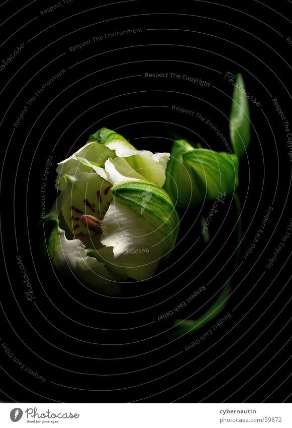 geschlechtsreifes Blümchen ... Blume Blüte Blütenkelch Blatt Stengel Stempel Blütenknospen