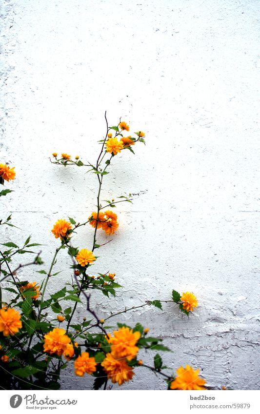Mauerblümchen Blume Blüte Pflanze grün gelb Ranke Wachstum flower Natur Zweig