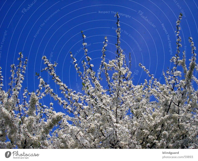 Blütentraum Himmel blau springen Frühling Ast azurblau