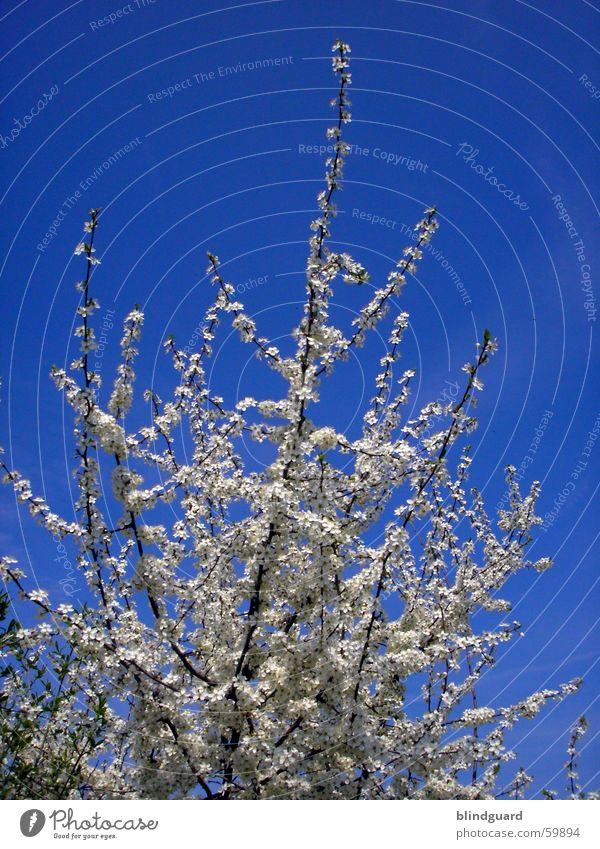 Blütentraum weitergeträumt Himmel blau springen Frühling Ast azurblau