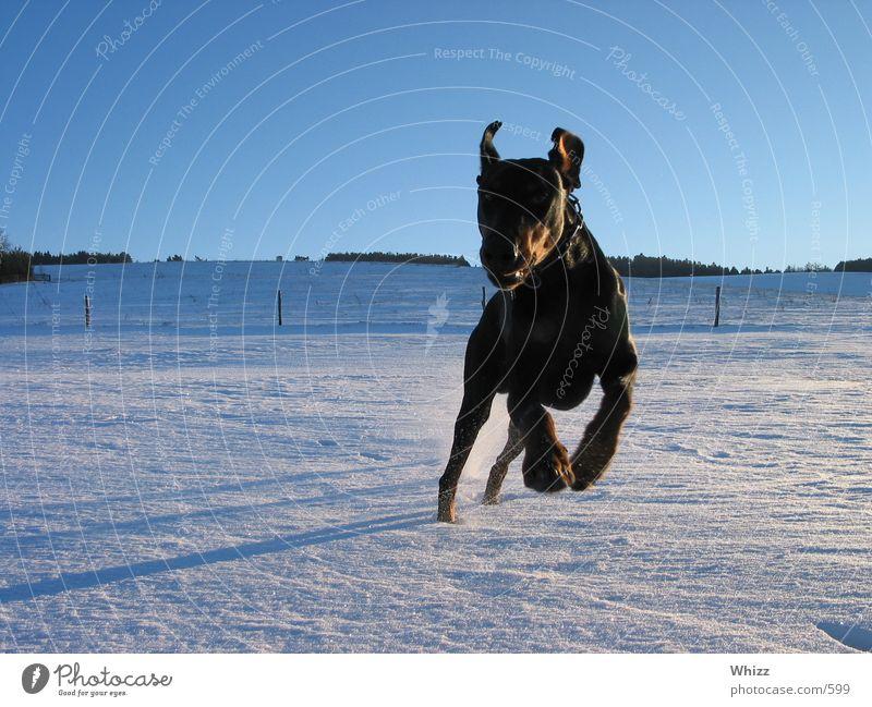 hund 01 hund dobermann action