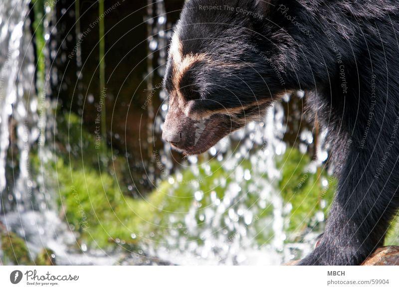 Bär am Wasser weiß grün Sonne schwarz Tier Bewegung Nase Fell Schnauze