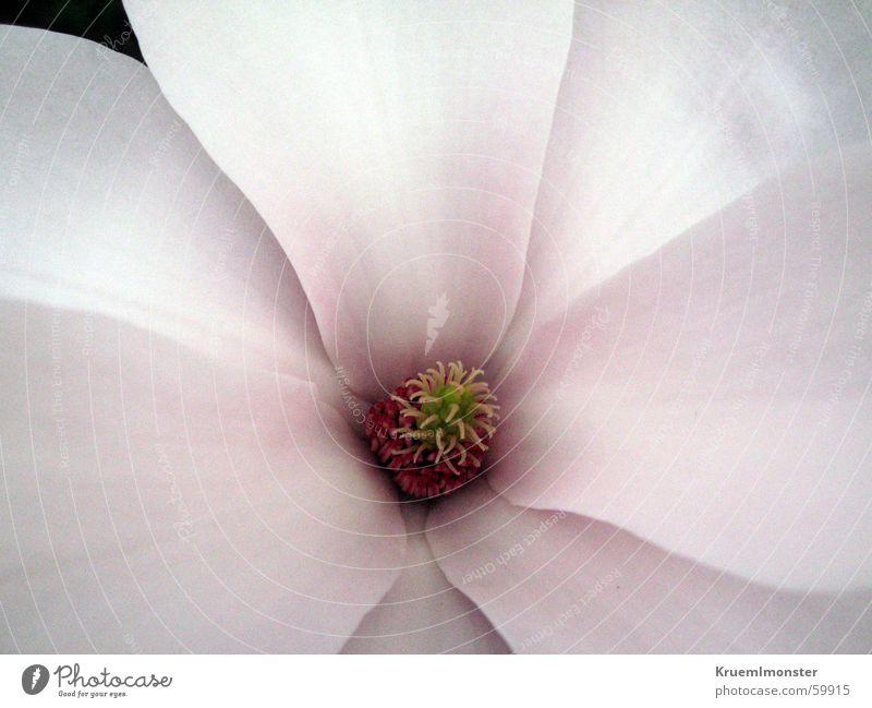 Blume Blüte weiß rosa Pflanze Blatt Blütenknospen Natur