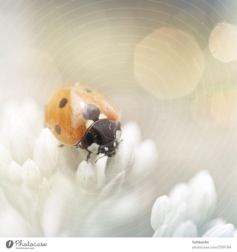 Glücklicht Natur Pflanze Frühling Sommer Schönes Wetter Blüte Garten Park Käfer 1 Tier orange rot weiß Fetthenne Marienkäfer Punkt Makroaufnahme Farbe