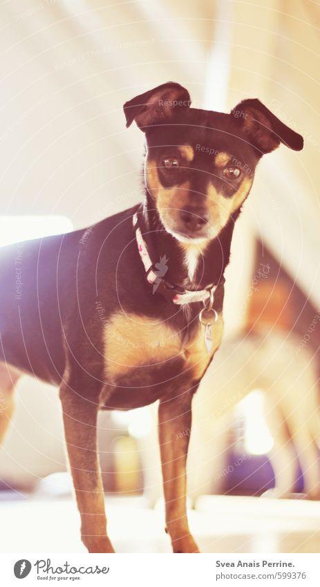 Amy Tier Haustier Hund 1 leuchten hell Fröhlichkeit Zufriedenheit Frühlingsgefühle Farbfoto Innenaufnahme Licht Schwache Tiefenschärfe Zentralperspektive