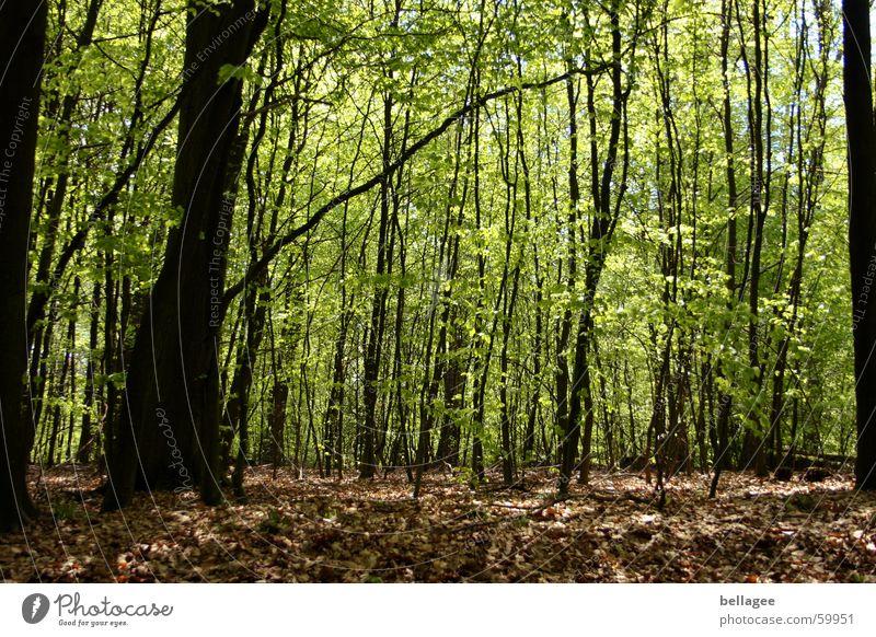 frühlingswald alt Baum grün ruhig Blatt Wald Frühling braun frisch neu Bodenbelag Ast Blütenknospen friedlich