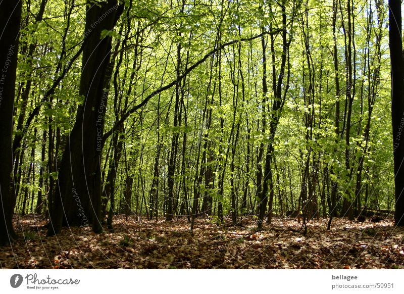 frühlingswald Wald Frühling grün braun Baum Blatt frisch ruhig Licht Bodenbelag neu alt friedlich Ast Blütenknospen Außenaufnahme