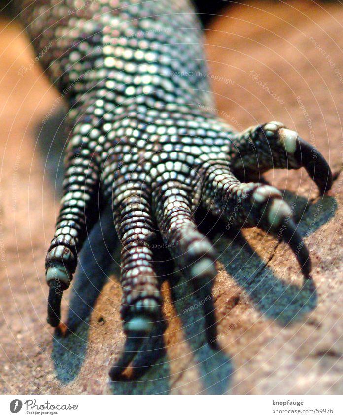 Drachenhand Leguane Echte Eidechsen Echsen Krallen Pore Zoo Tier Holz Unschärfe Scheune