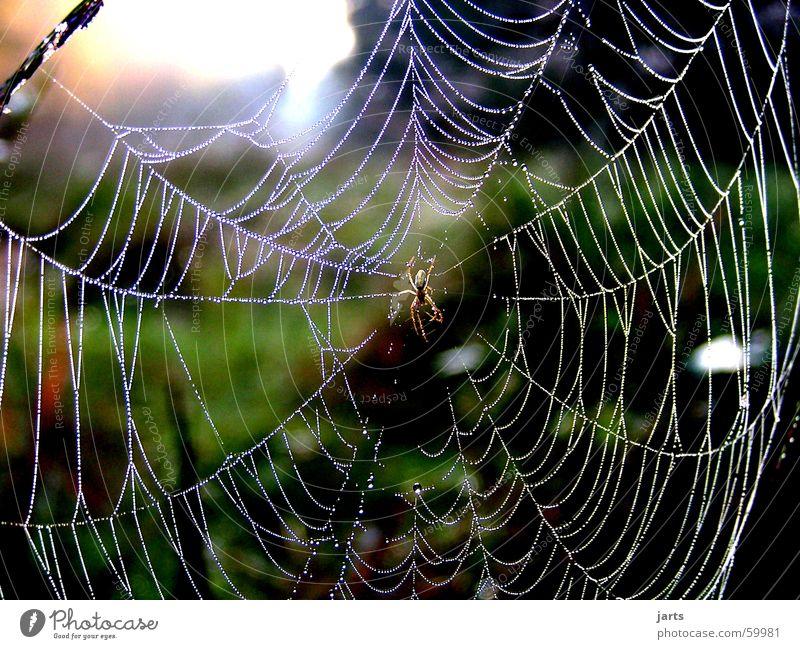 Im Morgentau Spinnennetz Wassertropfen Sonnenaufgang Wiese Angst Panik Macht Seil Tau Natur jarts