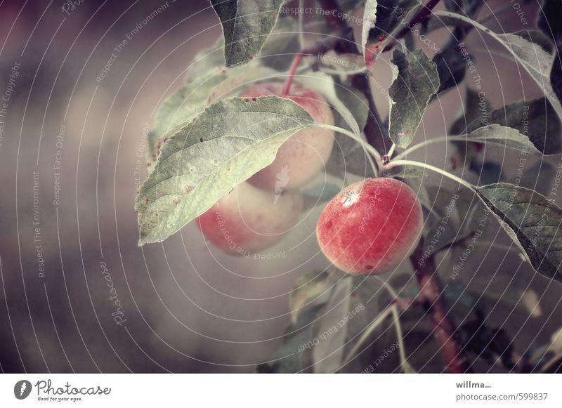 Apfeltraum Frucht Bioprodukte Vegetarische Ernährung Natur Pflanze Apfelbaum Apfel der Erkenntnis braun rot Gedeckte Farben Außenaufnahme