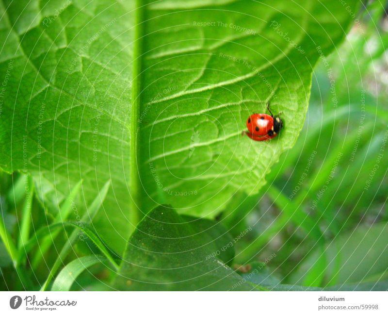 blattunterseite grün rot Blatt schwarz Gras Punkt Stengel Marienkäfer Gefäße