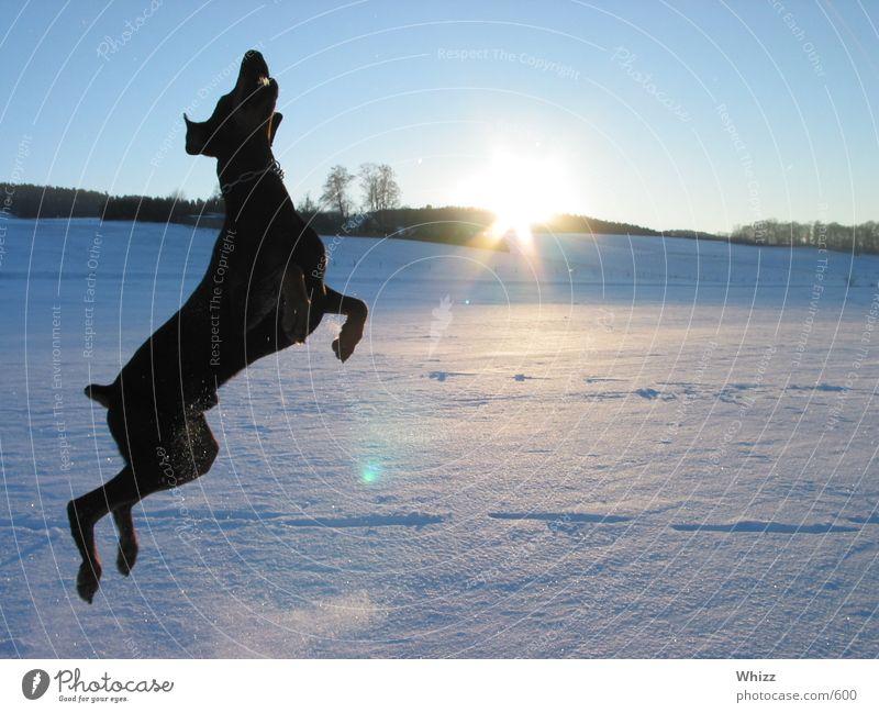 Hund 02 Hund Dobermann Action