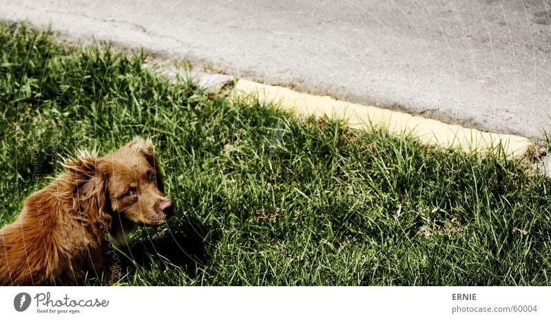 Knuff Ferien & Urlaub & Reisen Straße Wiese Hund Gras braun Norden Bordsteinkante Mitgefühl Chile Región de Tarapacá Arica