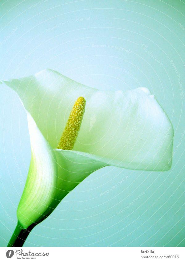 White Flower weiß Blume Stillleben flower white callas lily