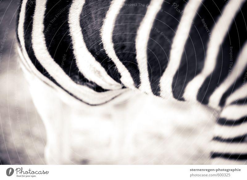 Zebrastreifen Tier Fell Zoo Streichelzoo 1 schwarz weiß Fellpflege Streifen Schwarzweißfoto Außenaufnahme Detailaufnahme Textfreiraum links Textfreiraum unten